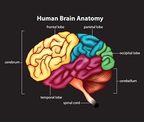 human brain anatomy chart